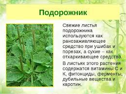 Презентация по окружающему миру Лекарственные растения  Подорожник Свежие листья подорожника используются как ранозаживляющее средст