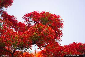 Kết quả hình ảnh cho hình ảnh hoa phượng nắng hè