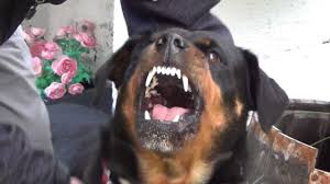 rottweiler dog mean. rottweiler dog mean h