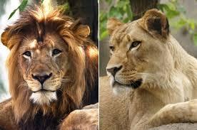 lioness. Unique Lioness Nyack The Lion And Zuri Lioness Throughout Lioness C