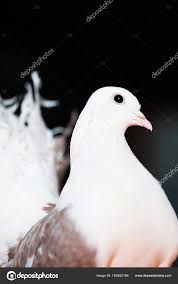 Light Brown And White Pigeon Pigeon White With Light Brown Thoroughbred Portrait Close