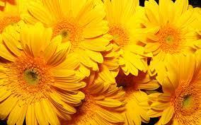 43+] Yellow Roses Wallpaper for Desktop ...