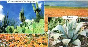 Тайга смешанные и широколиственные леса степи и лесостепи  Рис 161 Растения полупустынь и пустынь умеренного и субтропического поясов гигантские кактусы агава
