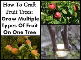 Mangosteen Tree Care U2013 Tips On Growing Mangosteen Fruit TreesFruit Trees In Kansas