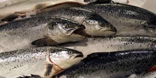 Hasil gambar untuk ikan salmon