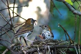 free picture bird family nest