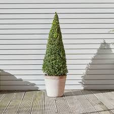 Buxus sempervirens — Plants | Patch
