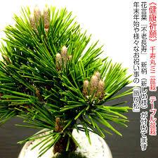 bonsai new year s auious kuromatsunai plants bonsai pine black pine bonsai bonsai bonsai bonsai gifts
