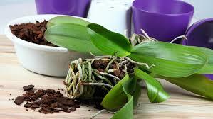 Orchideen Umtopfen In Sechs Einfachen Schritten
