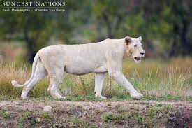 white lioness. Brilliant White White Lioness Emerges From The Bushes And Walks Dam Wall Inside Lioness T