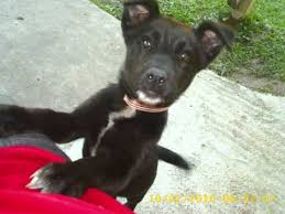 black german shepherd wolf hybrid.  Black In Black German Shepherd Wolf Hybrid S