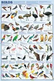 Bird Taxonomy Chart Printable Bird Classification Chart Bird Poster