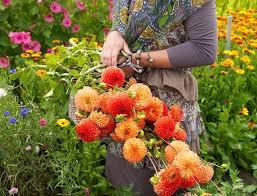 best dahlias for cutting cutting garden ideas dahlias karma karma dahlias best