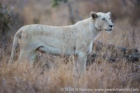 white lioness with blue eyes. Unique Lioness Ice Queen  The White Lioness Mother Throughout White Lioness With Blue Eyes S