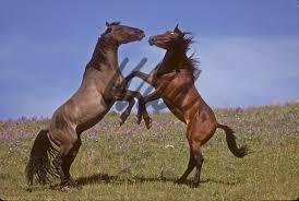 wild paint horses rearing. Beautiful Horses Wild Horses Image Intended Paint Horses Rearing W