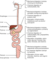 Human Digestive Enzymes Chart 23 7 Chemical Digestion And Absorption A Closer Look