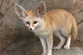 fennec fox. Modren Fox Fennec Fox With N