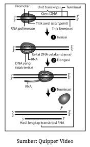 Makromolekul sempurna apa itu protein mungkin makromolekul yang terkandung dalam asam aminoalkanoic seluruh. Sintesis Protein Biologi Kelas 12 K13 Quipper Blog