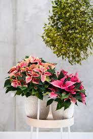 Weihnachtsstern Poinsettie Zimmerpflanze Des Monats