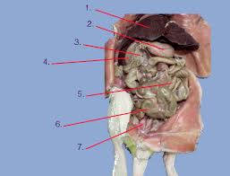 Test your knowledge in anatomy and physiology by answering these questions. Rat Anatomy Review For Biology 120