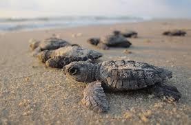 Image result for florida sea turtles