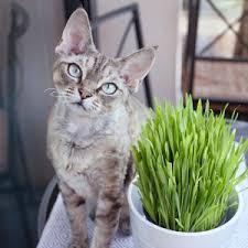 Kat hoest