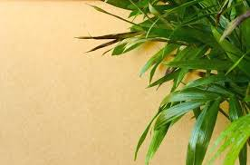 bamboo plant yellow leaves houseplant leaves turning brown lucky bamboo plant yellow leaves