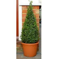 box pyramid topiary for pots buxus