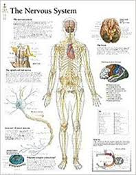The Nervous System Chart Wall Chart Scientific Publishing