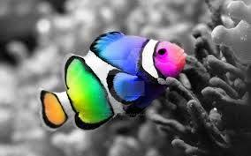 different colored clown fish. Delighful Clown Image Result For Different Coloured Clown Fish And Different Colored Clown Fish