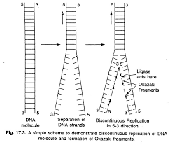 essay on dna replication genetics demonstrate discontinuous replications