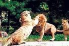 Что львы делают обычно перед охотой а человек