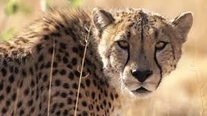 close up cheetah wallpapers 1080p full hd wallpaper