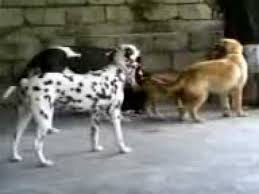 golden retriever dalmatian mix. Delighful Dalmatian My Dogs Great Dane Golden Retriever Pitbull Dalmatian Playing With The  Ball  YouTube And Retriever Mix I