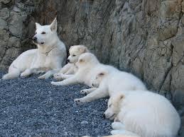 white german shepherd wolf mix puppy. Modren Puppy Arctic Wolf Canadian Grey White German Shepherd Samoyed And  Malamute Puppies And White German Shepherd Wolf Mix Puppy H
