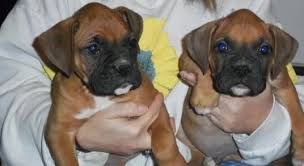 boxer puppies with all shoots available please text me at 650 564 4389