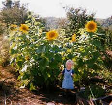 Growing a Sunflower House for Your Kids