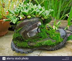 Unusual plant container, recycled old leather boot covered with moss and  with succulent plant growing in top & spilling over sides