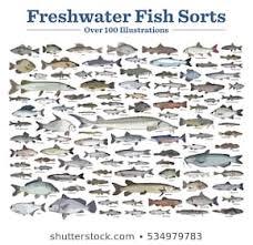Freshwater Fish Chart Fish Species Vector Stock Vectors Images Vector Art