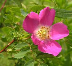 Rosa pendulina L. {ID 6539}- Rosa alpina - Forum Acta Plantarum