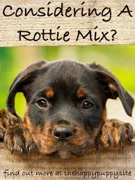 german shepherd rottweiler mix puppies. Exellent Rottweiler German Shepherd Rottie Mix Puppies May Or Not Look Like The Traditional  Rottweiler Throughout
