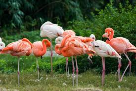 pictures of flamingos to color. Perfect Color Flamingos Are Flamboyantly Colored Birds Displaying Startling Shades Of  Pink Red Or Orange Intended Pictures Of To Color C