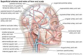 arteries of the face list of synonyms and antonyms of the word scalp veins