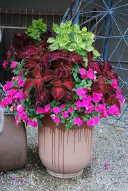 kingswood red coleus and bright pink impatiens container garden for shade  or part sun.