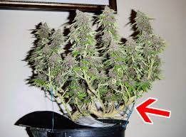 Best 25  Growing marijuana indoor ideas on Pinterest   Growing likewise How to Grow Weed With CFLs   Grow Weed Easy as well How to Grow Ginger Indoors  14 Steps  with Pictures    wikiHow together with How to Grow Weed With CFLs   Grow Weed Easy besides 7 Step Remedy to 99  of Cannabis Growing Problems   Grow Weed Easy furthermore  likewise How to Grow Cannabis in 10 Steps   Grow Weed Easy together with  besides Plantsily   Indoor Growing  We've got you covered further  additionally 8 Steps To Building The Perfect Indoor Grow Room. on grow weed indoors step by growing guide houseplant