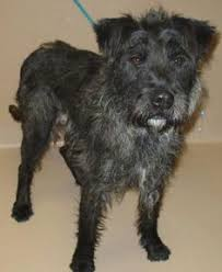 black wire haired terrier mix. Plain Haired My Name Is Dakota But They Call Me Dottie Iu0027m New To Last Day Dog Rescue  And Excited At The Prospect Of Finding My Forever Home Inside Black Wire Haired Terrier Mix