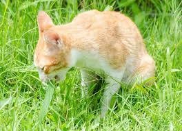whether you have an indoor or outdoor cat one thing is for certain your feline friend has probably nibbled on grass on more than one occasion