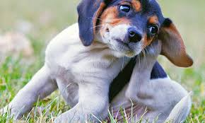 Immunotherapy (Allergy Shots) for Dogs - Veterinary Medicine at Illinois
