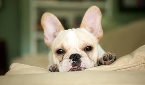 grown white french bulldog. Modren Bulldog French Bulldog With Grown White