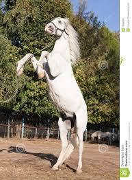 white horse rearing. Brilliant Horse White Horse Rearing On Horse Rearing